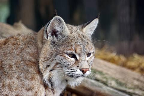 raza gato amercian lynx