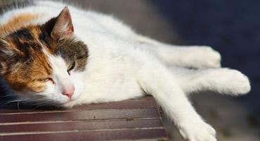 Golpe de Calor en Gatos
