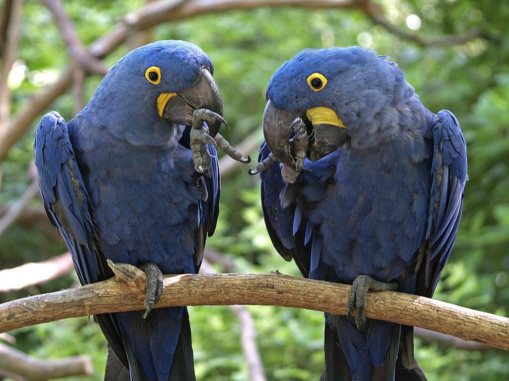 El loro más grande del mundo son los guacamayos azules